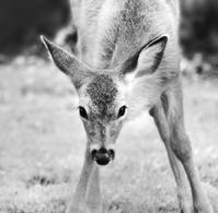 Baby Deer Staring Into Camera