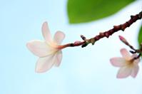 White frangipani on tree.