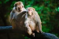 two monkeys- gentle male monkey