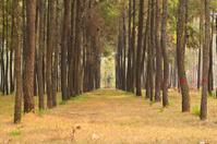 Pine of Thai