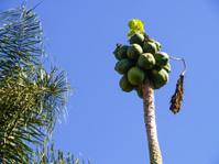 Papaya tree (Carica papaya) with fruits, flora in Paraguay