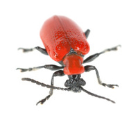 Scarlet lily beetle, Lilioceris lilii isolated on white backgrou