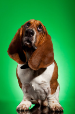 curios basset hound