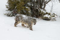 Snow leopard in winter scene