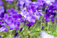 Campanula Portenschlagiana Blue Bell Flowers