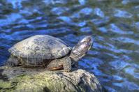 Tortoise Sunbathing by the Pond