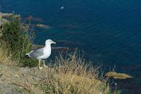 Herring gull on cliff habitat, Mediterranean