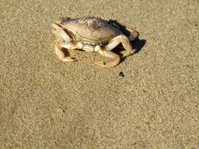 Sandy Crab