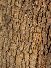 Bark of California Jacaranda
