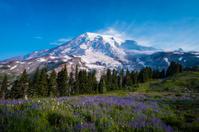 Beautiful wildflowers and Mount Rainier