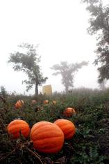 orange pumpkins in Bessarabia field and mist