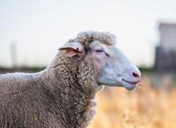 Sheep head brown color