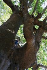 Boy on plane tree