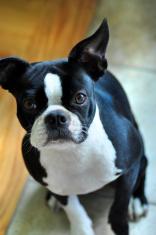 Cute Boston Terrier Dog