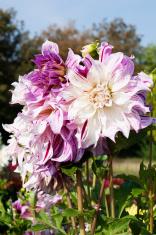white and pink dahlias
