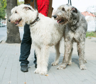 Two Giant schnauzer dogs