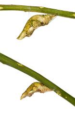 Great and common mormon chrysalis