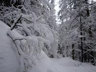 White trees under the snow