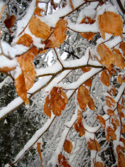 Snow on the branches with red leaves