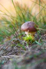 Edible mushroom - porcini