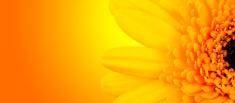 Gerber blossom