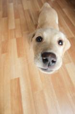 Wide angle golden labrador puppy