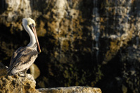 Brown Pelican Resting on Coastal Rocky Shore