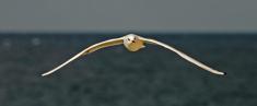 seagull 6