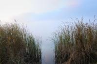 Reed at misty lake
