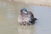 Wood Pigeon palumbus taking a bath in pond