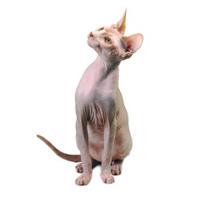 Egyptian bald cat