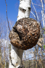 Monstrous excrescence on  birch trunk