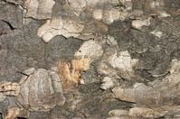 London plane Platanus x acerifolia bark background