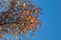 wild pear tree