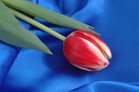 Blue Velvet & Red Tulip