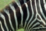 Zebra Texture 3
