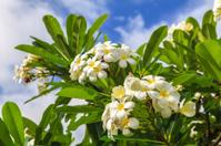 White Plumeria in Hawaii