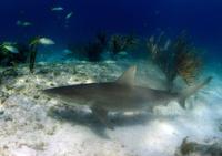 shark in its natural habitat