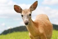deer in summer