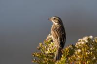 Sparrow on Wildflower