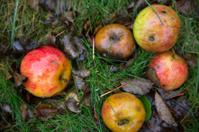 Fallen apples in the autumn rain