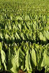 CUBA tobacco plantation