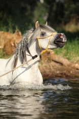 Gorgeous stallion which is bathing in river