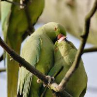 Rose-ringed parakeets lovebirds make love