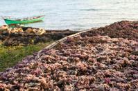 Seaweed harwest