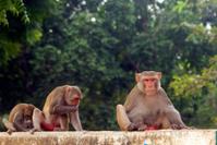 Rhesus monkey colony, Alwar, Rajasthan, India