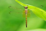 crimson Marsh Glider dragonfly