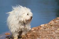 Dog - Havanese lakeside