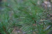 Green Pine Needles Close Up