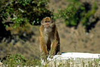 Rhesus monkey, Bhutan
